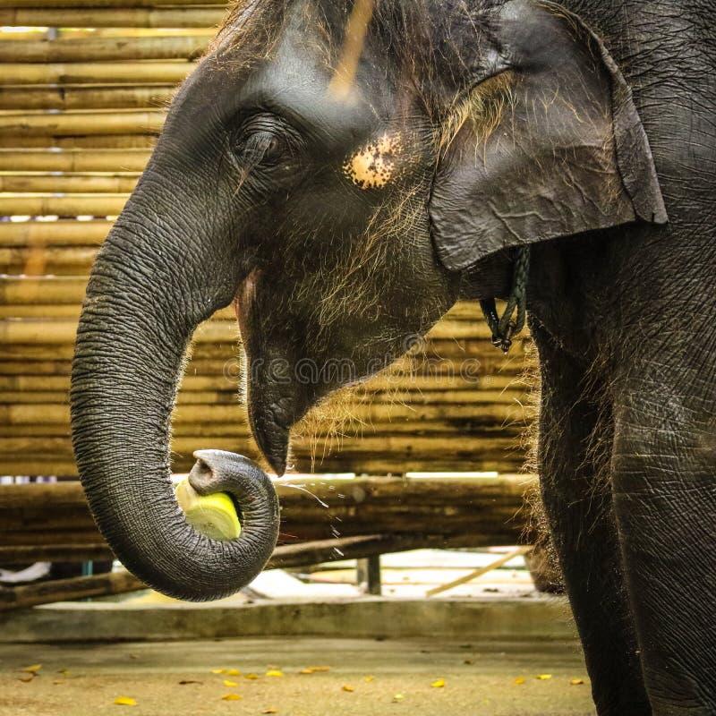 fermez-vous vers le haut de l'éléphant pendant l'heure du repas au zoo photos stock