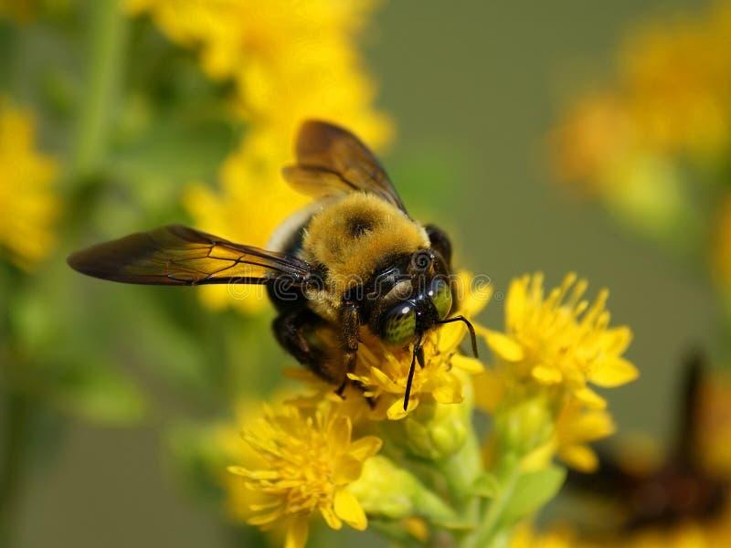 Fermez-vous vers le haut de l'abeille sur la fleur photo libre de droits