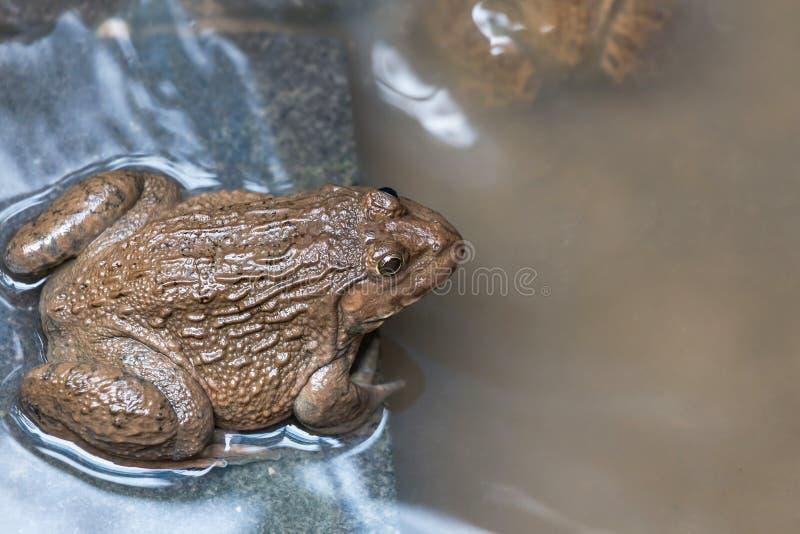 Fermez-vous vers le haut de l'animal amphibie de grenouilles comestibles dans l'habitat de réservoir en béton image stock