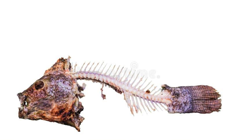 Fermez-vous vers le haut de l'arête de poisson de tilapia du Nil après le repas d'isolement sur le fond blanc avec le chemin de c photo stock