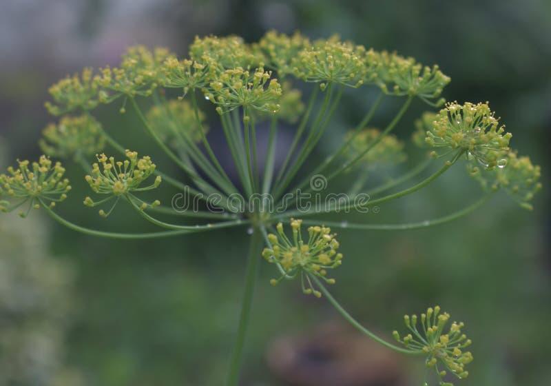 Fermez-vous vers le haut de l'herbe de floraison d'aneth photos libres de droits