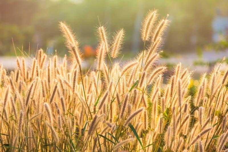 Fermez-vous vers le haut de l'herbe de fontaine tropicale de fleur d'herbe ou de pennisetum de setaceum sur le fond de coucher du photos libres de droits