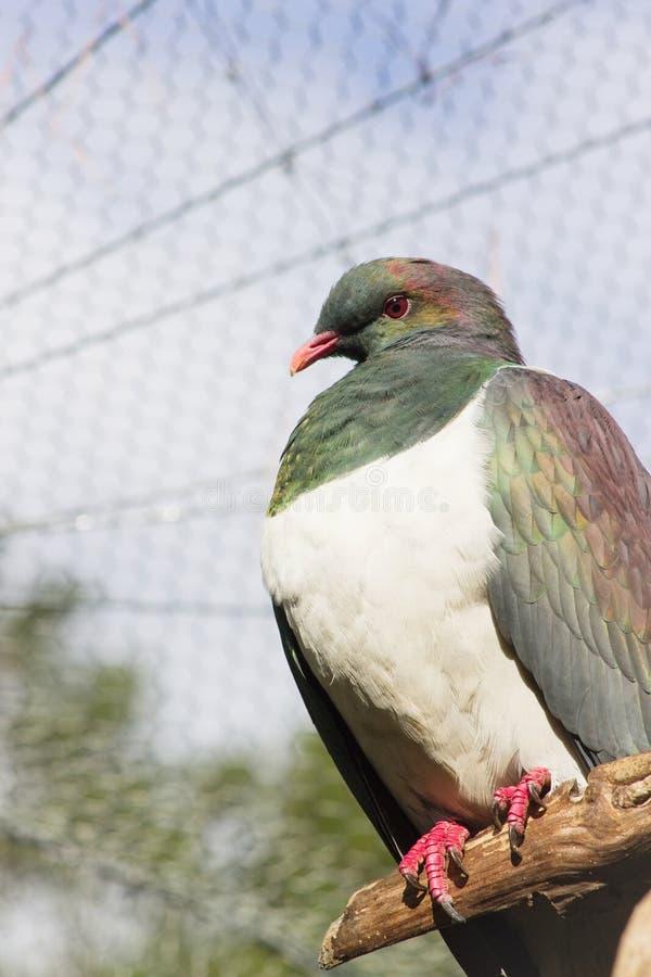 Fermez-vous vers le haut de l'image d'un pigeon de la Nouvelle Zélande Kereru image stock