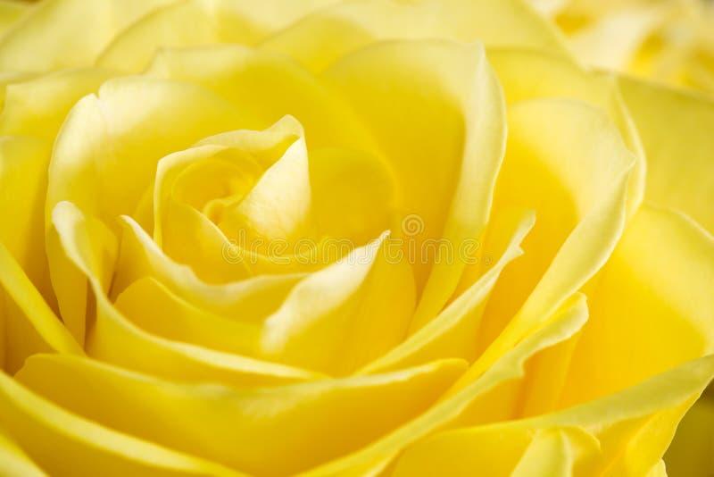 Fermez-vous vers le haut de l'image de la rose de jaune photographie stock