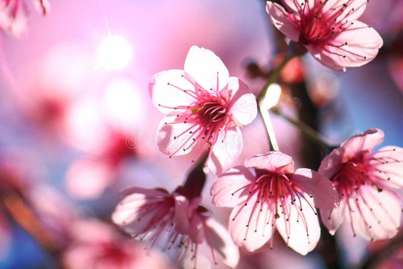 Fermez-vous vers le haut de l'image des fleurs thaïlandaises de bouquets de Sakura et du fond de ciel bleu photo stock