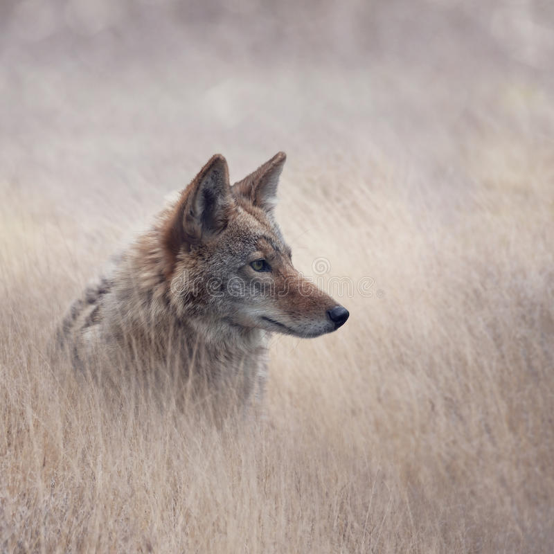 Fermez-vous vers le haut de l'image du coyote photographie stock libre de droits