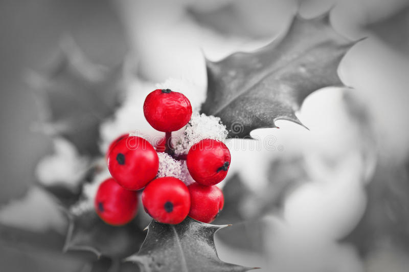 Fermez-vous vers le haut de l'OD qu'une branche de houx avec les baies rouges a couvert de neige en noir et blanc photographie stock