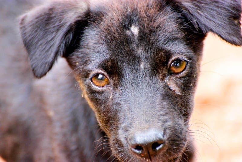 fermez-vous vers le haut de l'oeil de chien images libres de droits