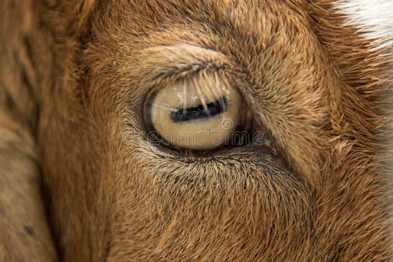 Fermez-vous vers le haut de l'oeil des chèvres dans la ferme images stock