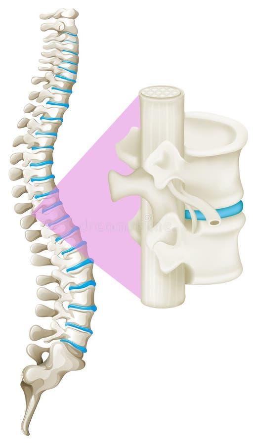 Fermez-vous vers le haut de l'os d'épine illustration stock