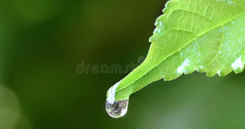 Fermez-vous vers le haut de la baisse de pluie de l'eau sur la feuille verte fraîche photo stock