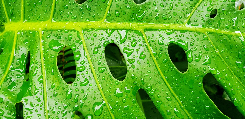 Fermez-vous vers le haut de la baisse de l'eau sur la feuille verte tropicale - art abstrait et fond de nature images libres de droits