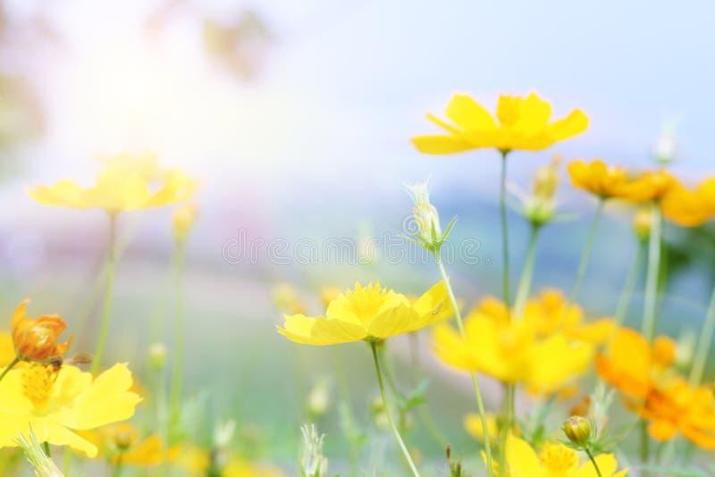 Fermez-vous vers le haut de la belle fleur jaune et du landscap rose de tache floue de ciel bleu photo stock