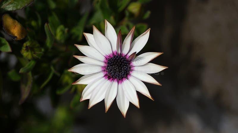 Fermez-vous vers le haut de la belle fleur violette de marguerite africaine d'Osteospermum photo stock
