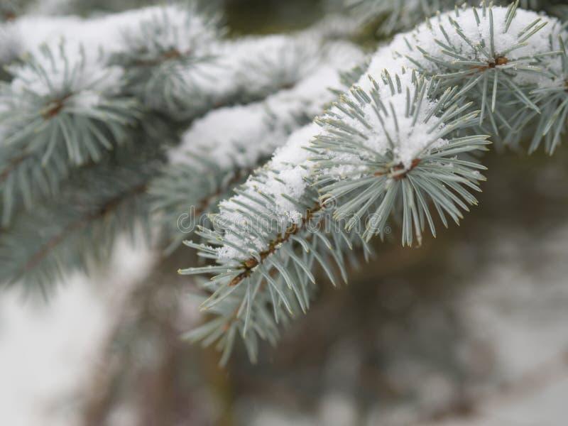 Fermez-vous vers le haut de la branche d'arbre de sapin argenté couverte par la neige images libres de droits