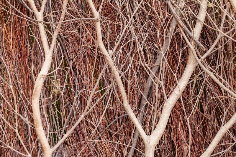 Fermez-vous vers le haut de la broussaille rouge photo stock