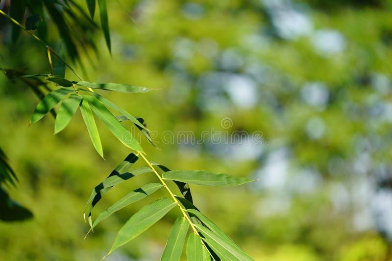 Fermez-vous vers le haut de la feuille en bambou avec le fond vert de tache floue photographie stock libre de droits