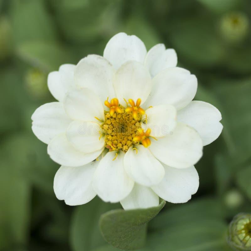 Download Fermez-vous Vers Le Haut De La Fleur Blanche Au-dessus Du Fond Vert De Nature Photo stock - Image du marco, centrale: 87704524