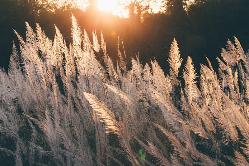 Fermez-vous vers le haut de la fleur blanche dans le domaine avec le fond de lever de soleil photos stock