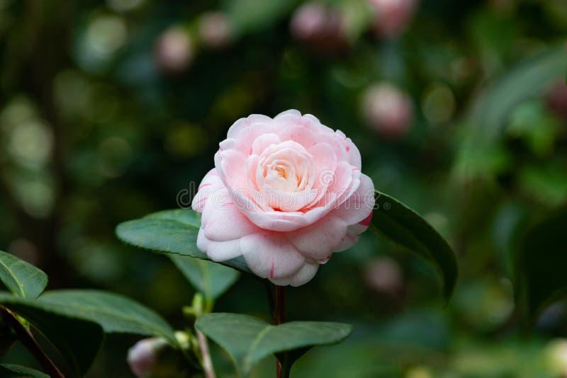 Fermez-vous vers le haut de la fleur de cam?lia photographie stock