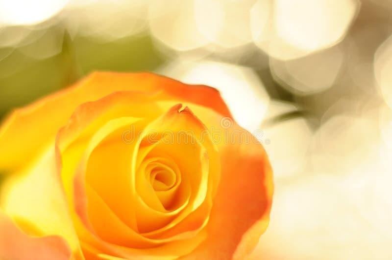 Fermez-vous vers le haut de la fleur d'orange et de rose de jaune photo libre de droits