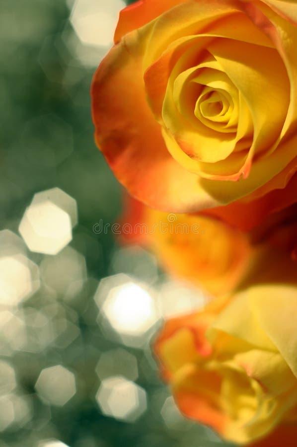 Fermez-vous vers le haut de la fleur d'orange et de rose de jaune photo stock