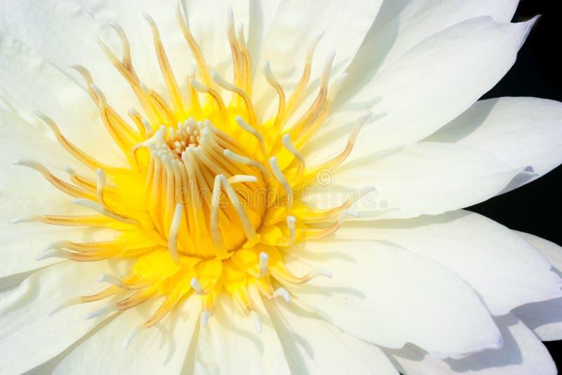 Fermez-vous vers le haut de la fleur de lotus blanc images stock