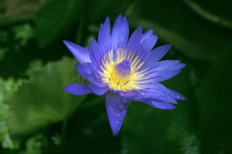 Fermez-vous vers le haut de la fleur de lotus pourpre bleue avec la goutte de l'eau de pluie sur le congé de lotus de vert de tac photos stock