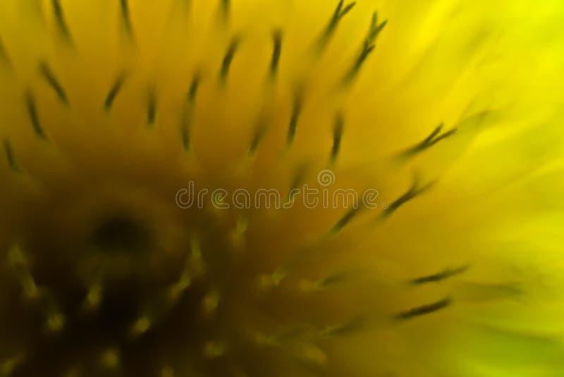 Fermez-vous vers le haut de la fleur de pissenlit photos libres de droits