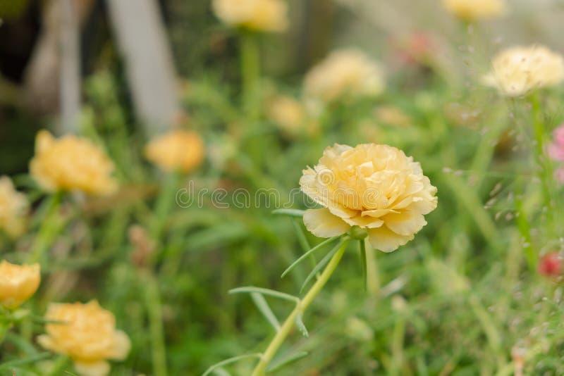 Fermez-vous vers le haut de la fleur grandiflora de portulaca jaune ou orange photographie stock