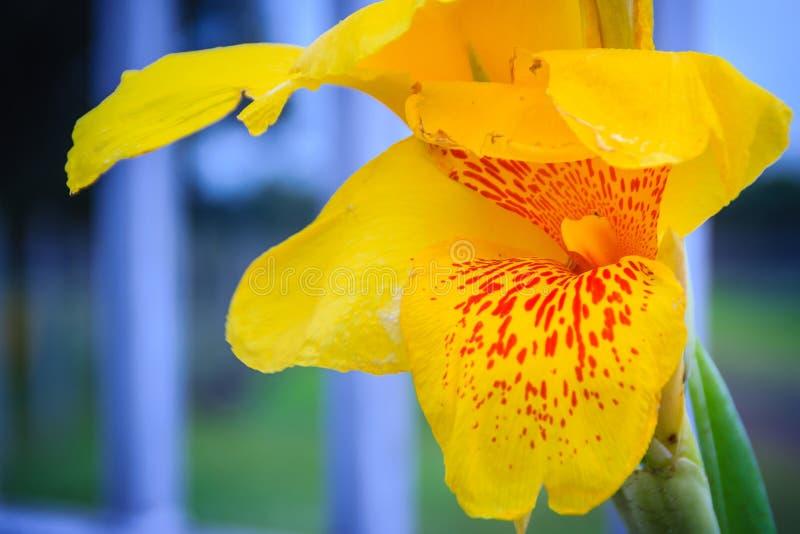 Fermez-vous vers le haut de la fleur jaune de lis de canna avec le fond vert de feuilles images libres de droits
