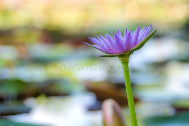 Fermez-vous vers le haut de la fleur de lotus dans le jardin photo libre de droits