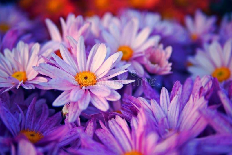 Download Fermez-vous Vers Le Haut De La Fleur Pourpre Photo stock - Image du centrale, rose: 87707080