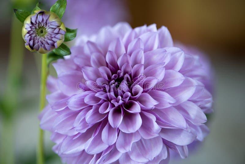 Fermez-vous vers le haut de la fleur pourpre de dahlia sur le fond de tache floue images libres de droits