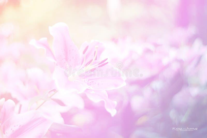 Fermez-vous vers le haut de la fleur rose dans l'amour naturel de fraîcheur dans la valentine concentrée image stock