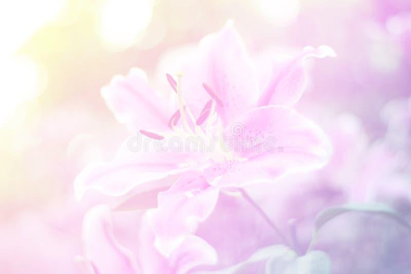 Fermez-vous vers le haut de la fleur rose dans l'amour naturel de fraîcheur dans la valentine concentrée photographie stock