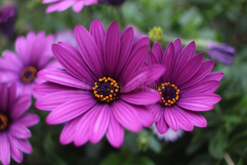 Fermez-vous vers le haut de la fleur violette de marguerite africaine d'Osteospermum photo stock