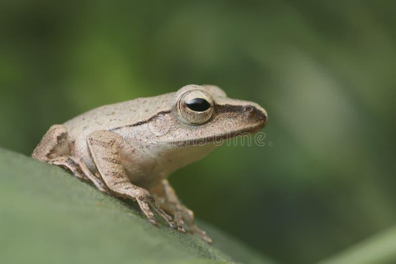 Fermez-vous vers le haut de la grenouille brune sur la feuille verte image libre de droits