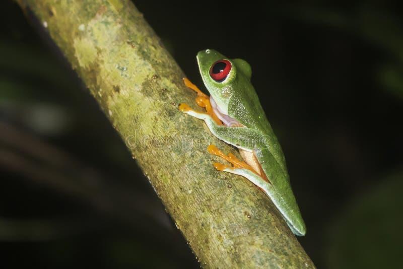 Fermez-vous vers le haut de la grenouille d'arbre observée par rouge de profil la nuit image libre de droits