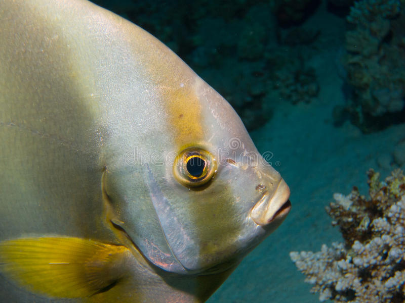 Fermez-vous vers le haut de la Mer Rouge Dive Egypt de poissons de batte images libres de droits