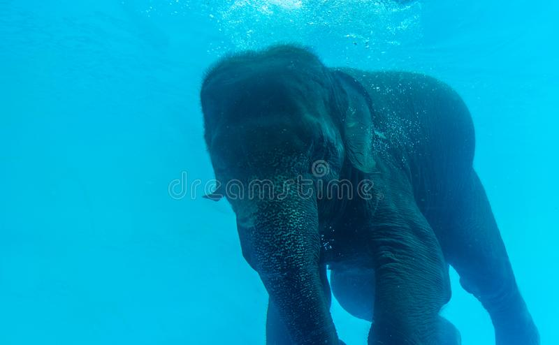 Fermez-vous vers le haut de la natation d'éléphant dans la piscine en verre photo libre de droits
