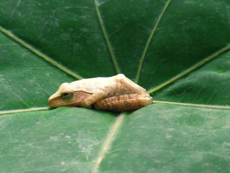 Fermez-vous vers le haut de la petite grenouille n'est pas fort Mensonge sur la feuille photo libre de droits