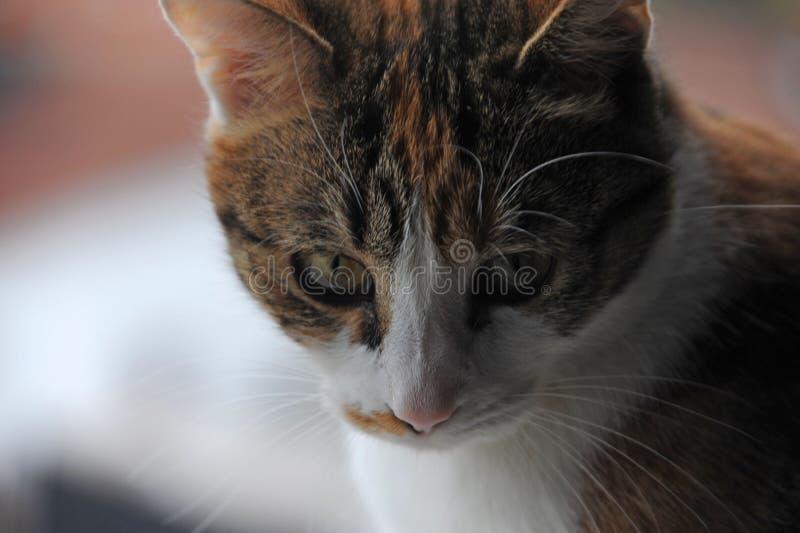 Fermez-vous vers le haut de la photo d'un chat regardant vers le bas image stock