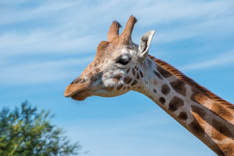 Fermez-vous vers le haut de la photo d'une girafe de Rothschild image libre de droits
