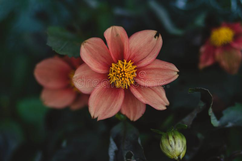 Fermez-vous Vers Le Haut De La Photo De La Fleur Petaled Rose Domaine Public Gratuitement Cc0 Image