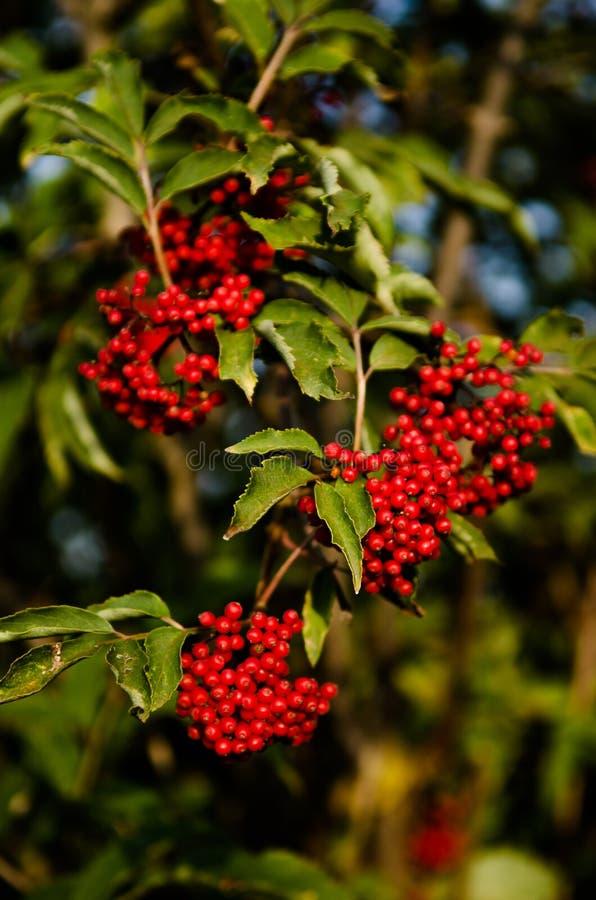 Fermez-vous vers le haut de la photo des baies color?es par rouge vif lumineux sur des branches fruitage de Sorbe-arbre en ?t? Gr photographie stock libre de droits