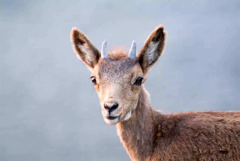 Fermez-vous vers le haut de la photo des cerfs communs de jeunes de tête et de visage photos libres de droits