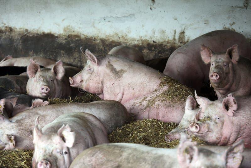 Fermez-vous vers le haut de la photo des truies puissantes de porc en s'étendant dans la grange image stock