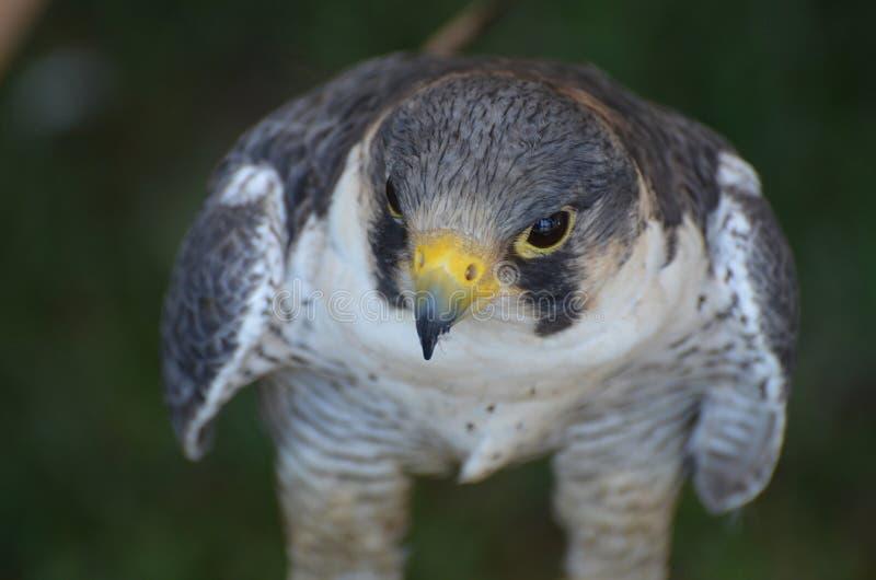 Fermez-vous vers le haut de la photo de la tête d'un faucon sauvage photo stock