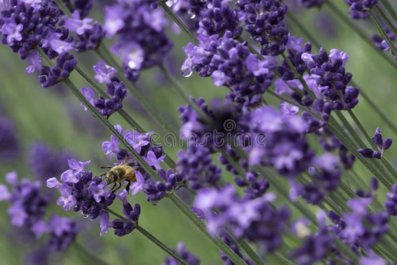 Fermez-vous vers le haut de la photographie d'une fleur de lavande de grouillement d'abeille photo stock